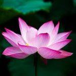 Giải mã giấc mộng chiêm bao thấy hoa sen